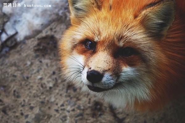 """西方摄影师实拍日本狐狸村:被这些""""毛领子""""萌化了"""